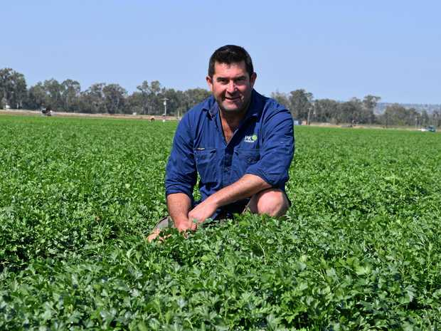 SEA OF GREEN: Paul Stringer with his crop of coriander.