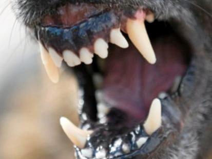 A 'menacing' dog has attacked a spoodle at Federal.