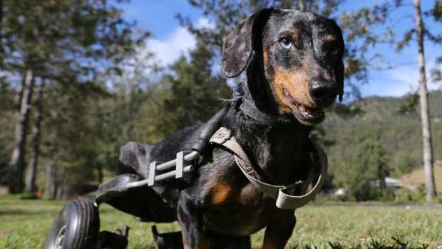 Krumm the mini dachshund is a disabled dog at the Storybook Farm Sacred Animal Garden, which needs to find a new home, and quickly. Picture Glenn Hampson.