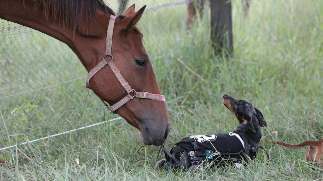 Nothing stops Krumm the dachshund. With the use of only his front legs and nearly blind Krumm covers the farm like a normal dog. Picture Glenn Hampson