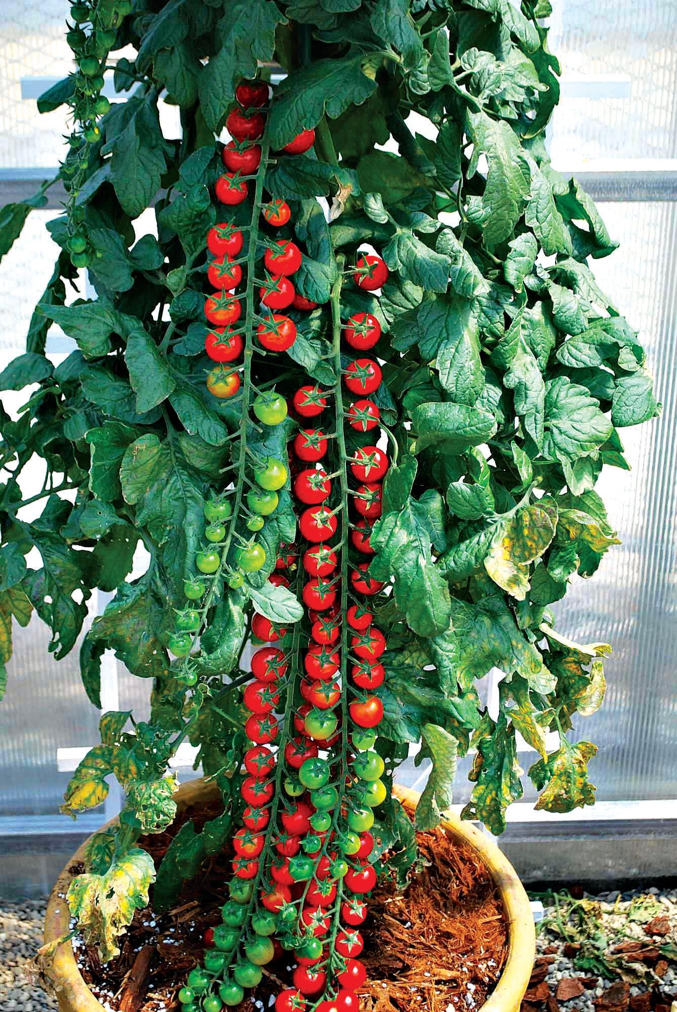 Planter Des Tomates En Pot top picks for home-grown tomatoes | queensland times