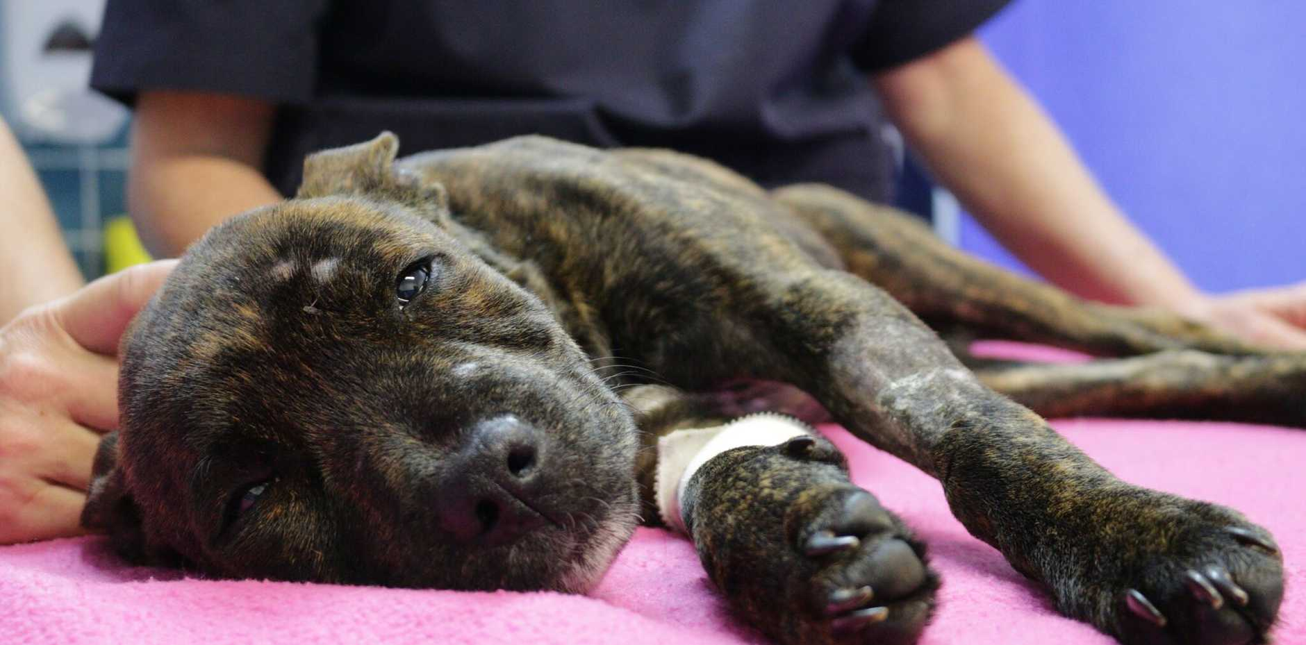 Eight-month-old American Staffordshire bull terrier Evie had been suffering from multiple broken bones and couldn't walk for three weeks.