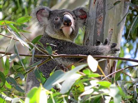 Friends of Koala - Lismore.