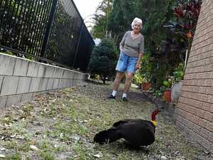 'Vicious' turkeys are destroying my property: pensioner