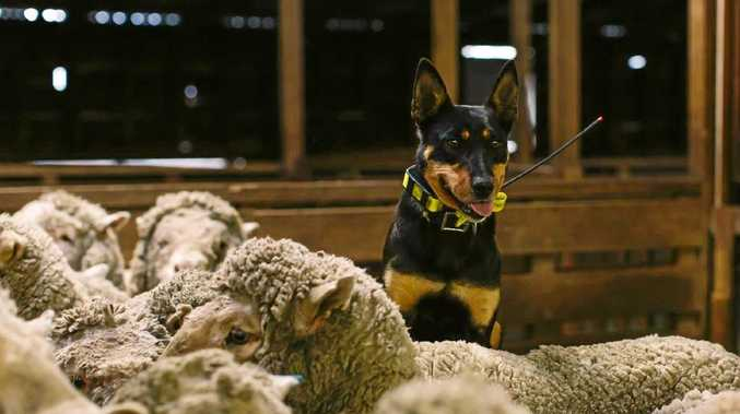 WINNER: Flow the Kelpie put in three full marathons in three days to win this year's Cobber Challenge for working dogs.
