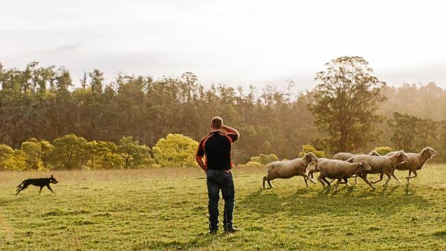 Flow the Kelpie and Brad McDonald work sheep on the farm.