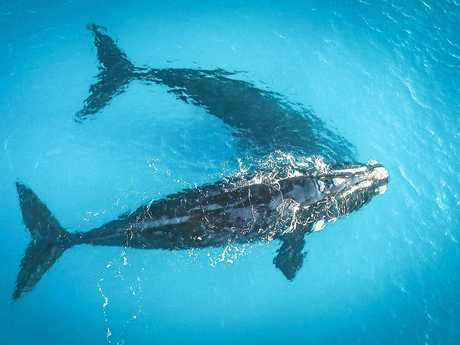 Southern right whales in a scene from the movie Blue.