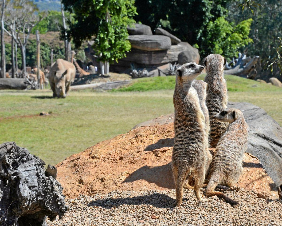 Australia Zoo's new meerkat section is now officially open and the mob are perched and ready to meet guests.