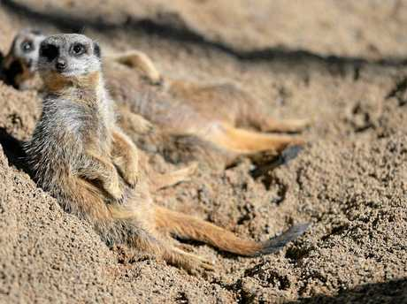 HANGING OUT: The new meerkats, now on display at Australia Zoo, have been given names after a competition with entries from across the country.