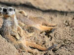 Meerkats at Australia Zoo