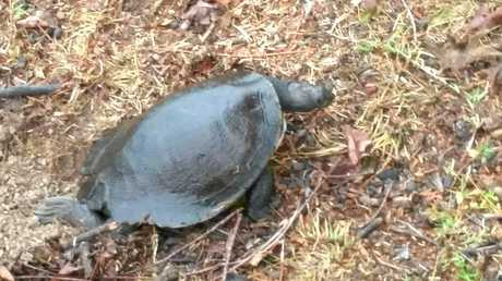 John Melenhorst's son Francis took these photos of the turtles making their way through their property on Lawrence Rd.