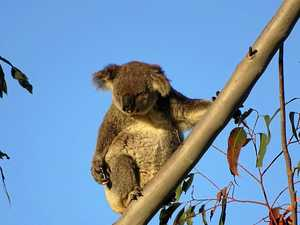 Bruce Hwy planting may be luring koalas to their deaths