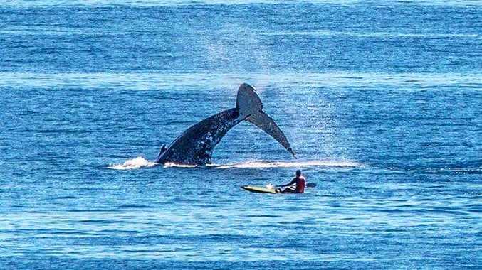 Whales play at Coolum Beach.