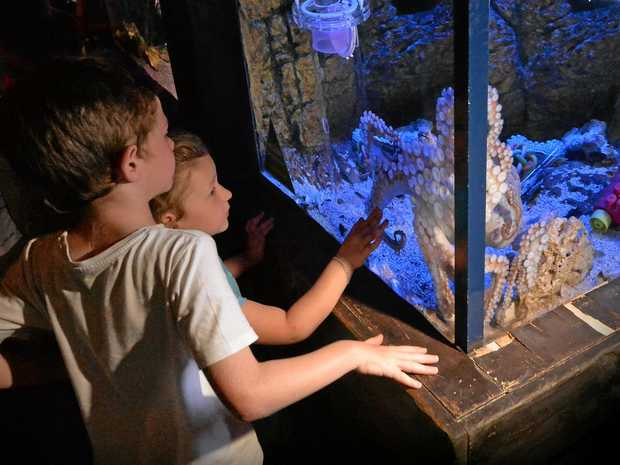 MAIN ATTRACTION: Hank the octopus at Sea Life Sunshine Coast has quickly become a firm favourite amongst guests.
