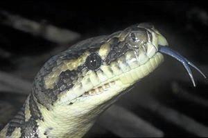 A carpet python