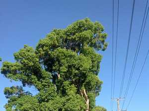CAMPHOR LAUREL: The elephant in the room