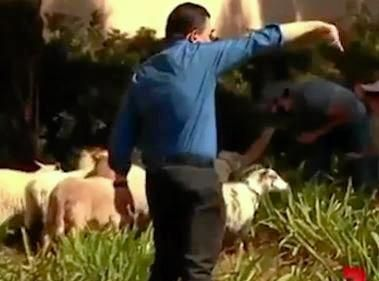 Senator Nick Xenophon rounds up the escaped sheep north of Los Angeles.