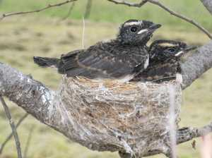 Baby birds often better off with parents: RSPCA