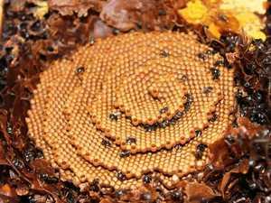 Coast honey company's backyard bee hive dream