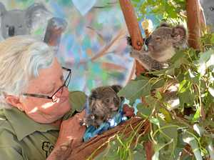 Carer confirms koala rescues are rising in Lockyer