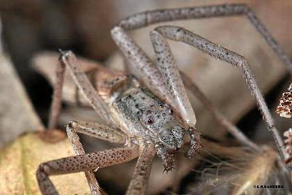 Laurence Sanders rediscovered the long lost Australian spider 'Thomisidae Monaeses brevicaudatus' in Emerald.