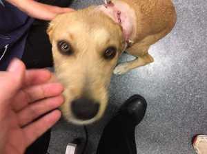 RSPCA investigating another dog shooting case