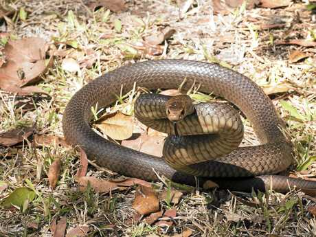 An eastern brown snake is poised to strike.
