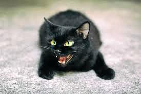 LUCKY CAT: Friday 13th can be a lucky day despite how many black cats you come across,