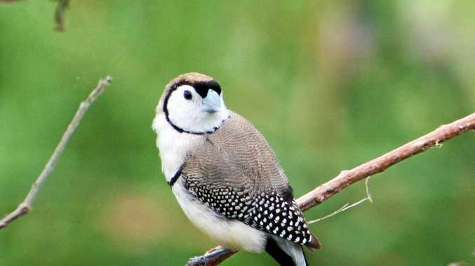 A Double Barred Finch.
