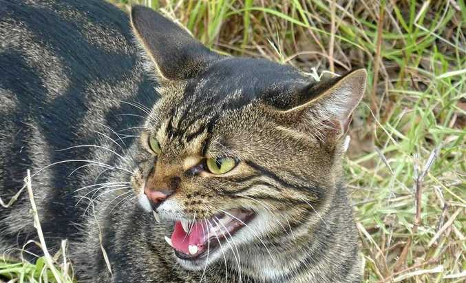 Banana Shire Council are introducing a bounty on ferals cats, in a bid to reduce the escalating numbers of the pest in rural areas.