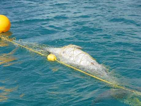TANGLED UP: This sub-adult bottle nose dolphin was killed in shark nets off Noosa's Main Beach this year.