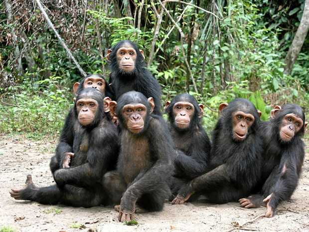 The gut health of chimpanzees in Rwanda will be the focus of a new study.