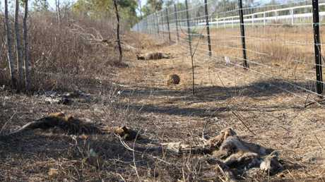 More than 40 wallabies, kangaroos and joeys have been found dead near and on Mareeba Turf Club property.