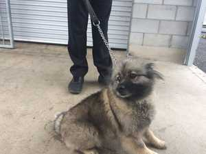 FRIENDLY: Female Keeshond apporx two and a half, is