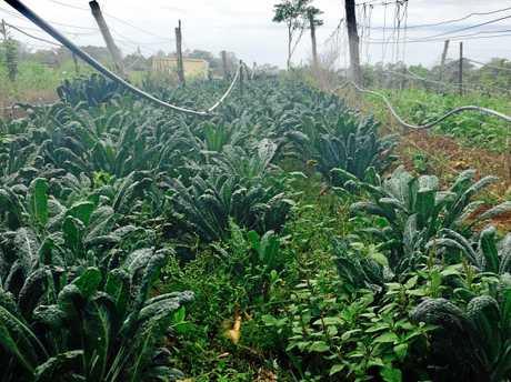 Rows of vitamin-rich kale growing in Jack's garden. PHOTO: HELEN HAWKES