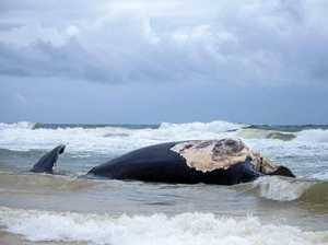 Blood in the water over burial of whale carcass