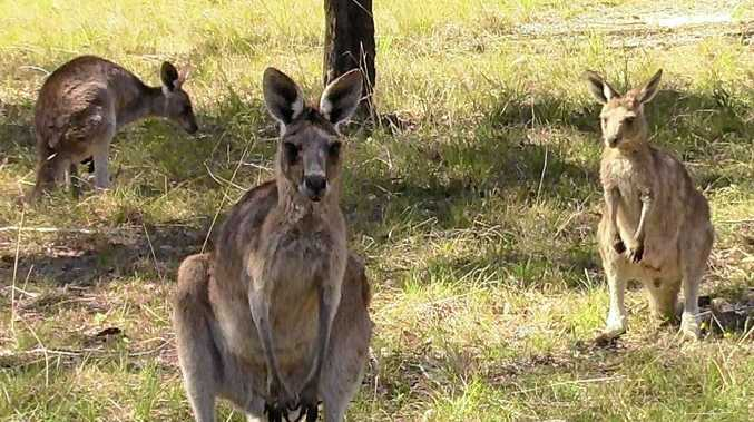 A kangaroo was rescued from the mud over the weekend.