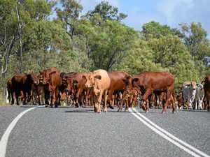 Cattle roaming highway after B-double rollover in CQ