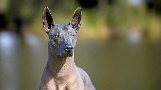 RARE BREED: Chamuco is one of 223 dogs who earned themselves a spot in the Dog and Puppy of the Year Awards.