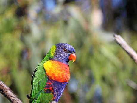 The rainbow lorikeet has claimed the number one spot for most counted bird for three years in a row.