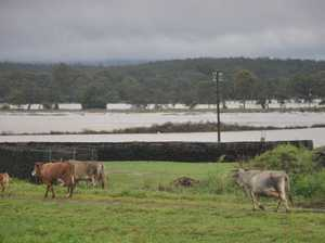 Cattle have been moved to safety as SES prepares to evacuate low-lying properties on Mill Rd, Monto.