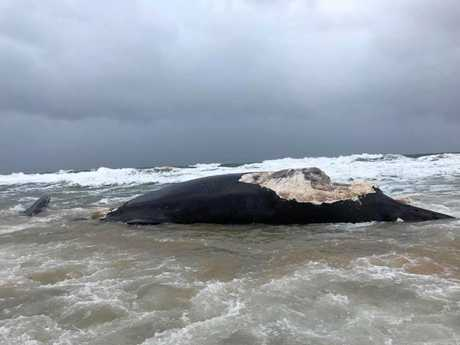 THE dead whale, which had been savaged by sharks, washed up on Wurtulla Beach.