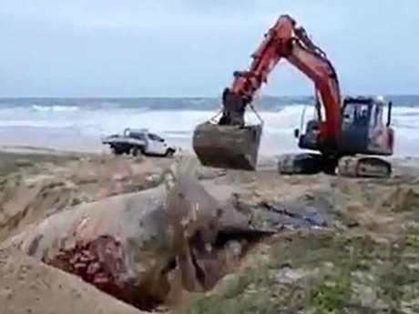 THE whale being pushed into a hole dug on Wurtulla Beach. Photo: Still from Glen Bowden video