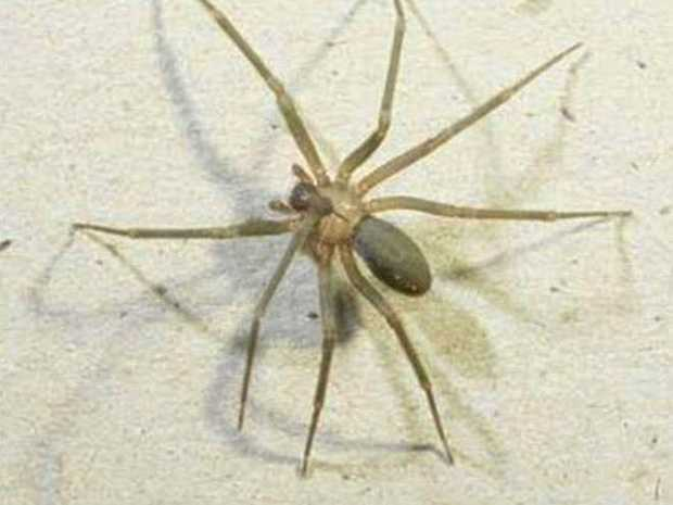 A spider hoax email is doing the rounds on the Northern Rivers.