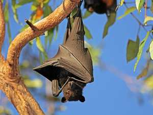 CONTROVERSIAL: The issue of flying foxes and their dispersal was discussed on the final day of the Local Government Association of Queensland's annual conference.