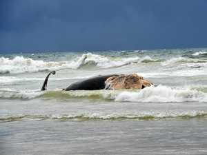 Council plans whale carcass removal but won't say when