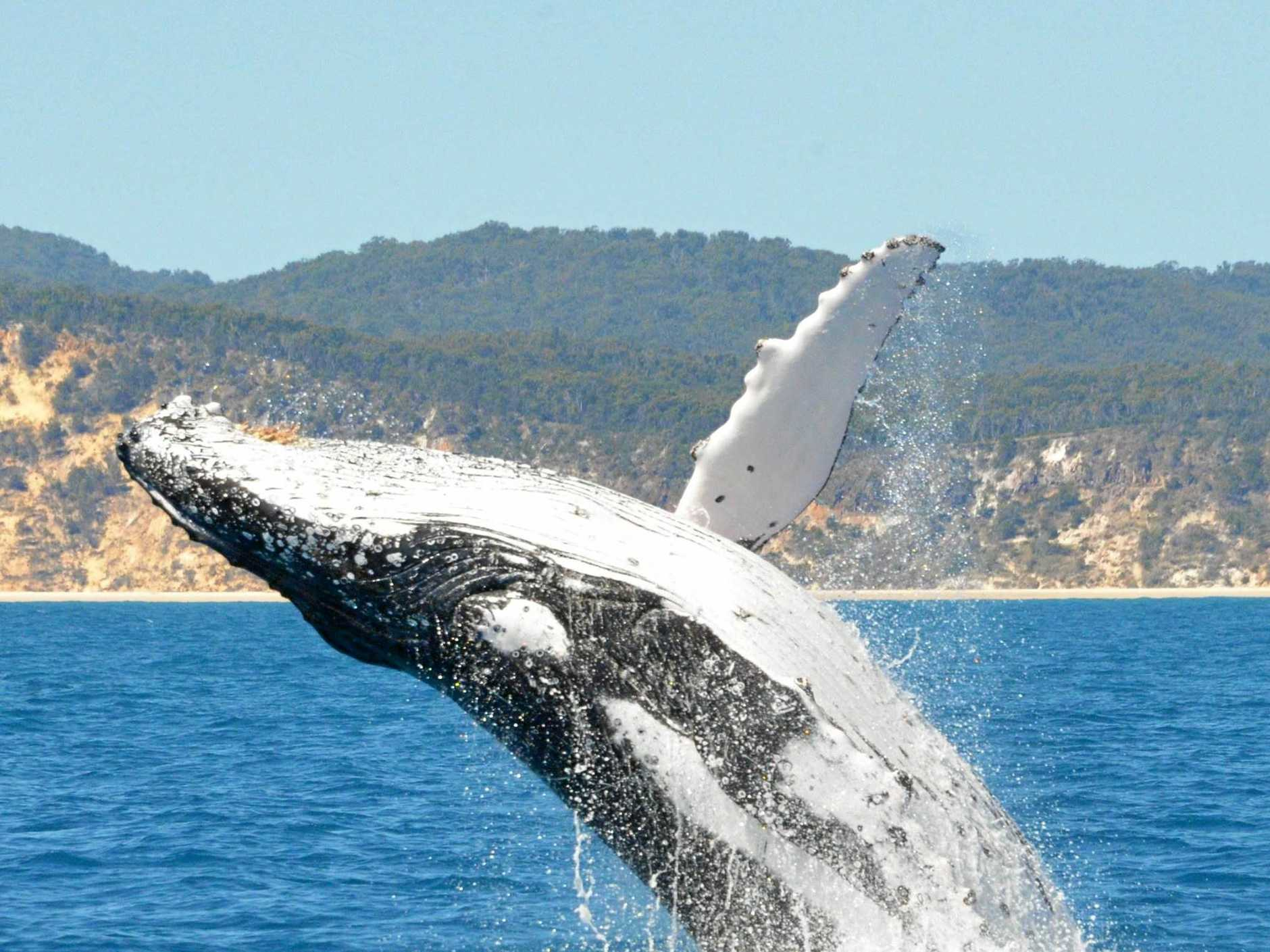 A humpback shows off during a whale watching tour.