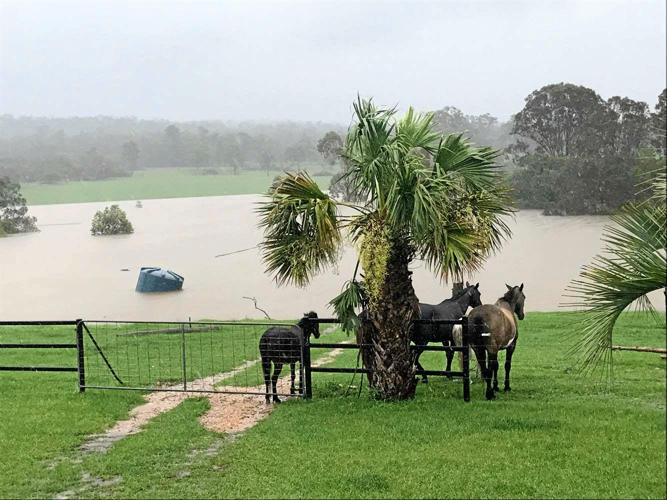 CATTLE LOST: Jess Keenan and her family watched as three of their cows floated away in floodwater at their Lowmead property.