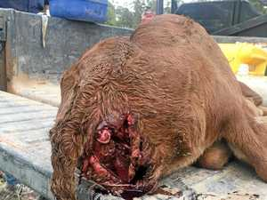 Feral dogs terrorise Rocky suburb