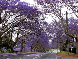 Jacaranda Festival: Australia's oldest floral fest turns 82